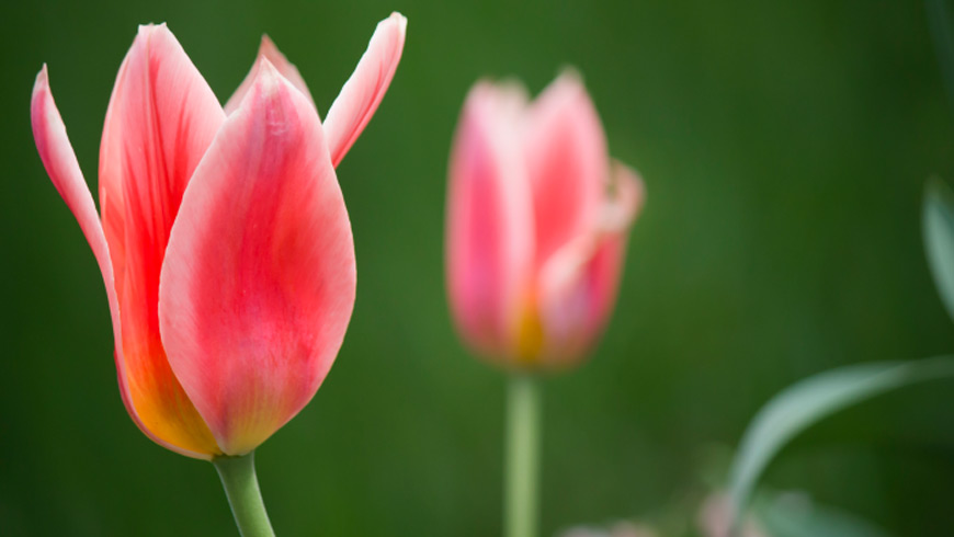 Profiting from Open innovation. Growing tulips.